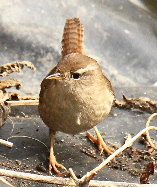 Wren showing its 'sail' tail.