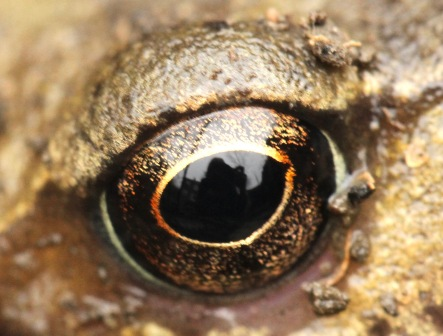 Frog's beautiful eye