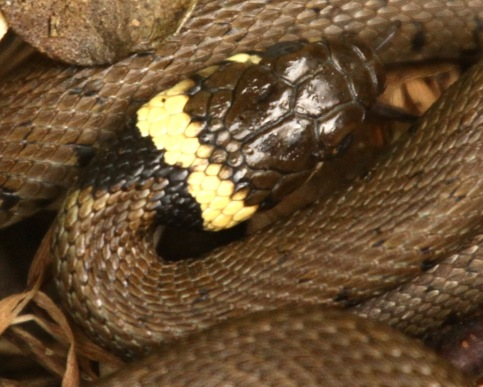 Head of young Grass Snake