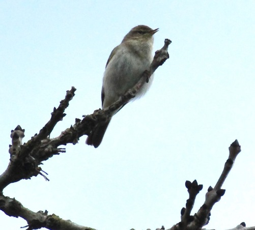 Like many birds, Chiffchaffs chose a high vantage point from which to sing