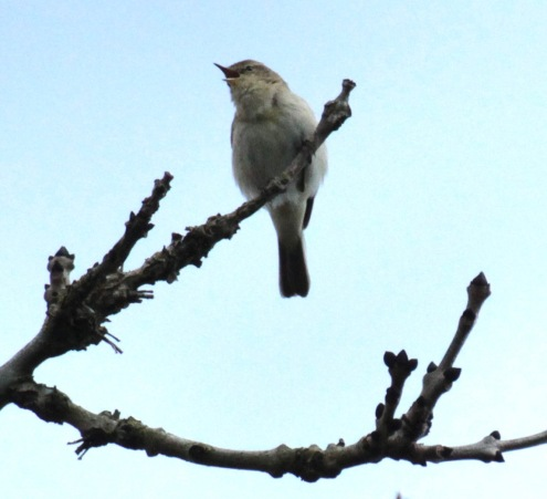 Early Chiffchaff singing at the top of a big Ash