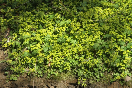 Golden Saxifrage, which loves damp woodland and stream edges.