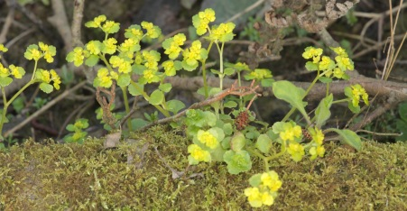 Golden Saxifrage- really a brilliant two-tone lime-green