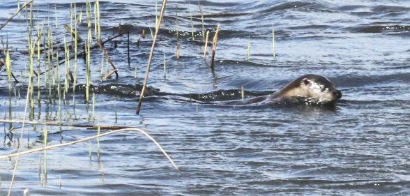 Otter at Minsmere