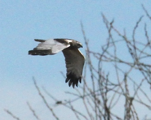 Male Marsh Harrier, flying low over reed-beds