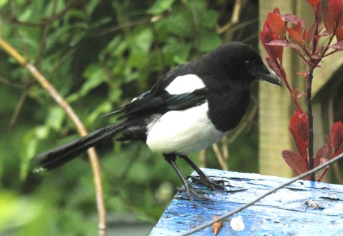 Magpie on roof of bird box
