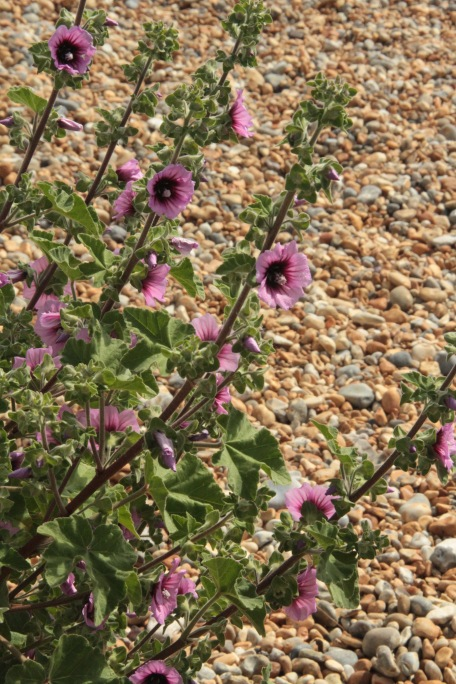 The Tree Mallow can grow to 10 feet on shingle alone
