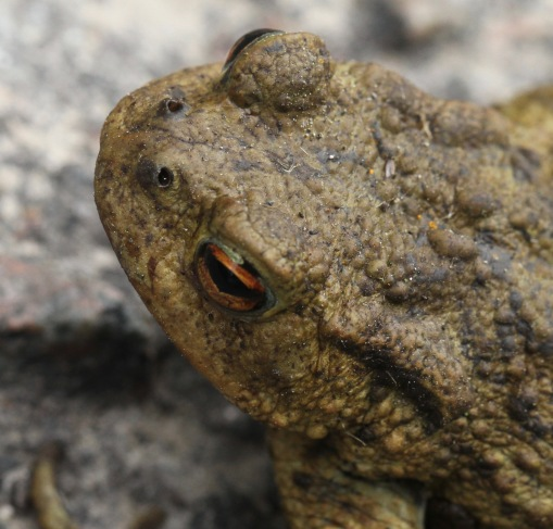 Toads have horizontal, split pupils