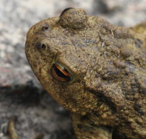 Toads have horizontal, split pupils