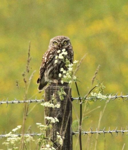 Little Owl, Monyash