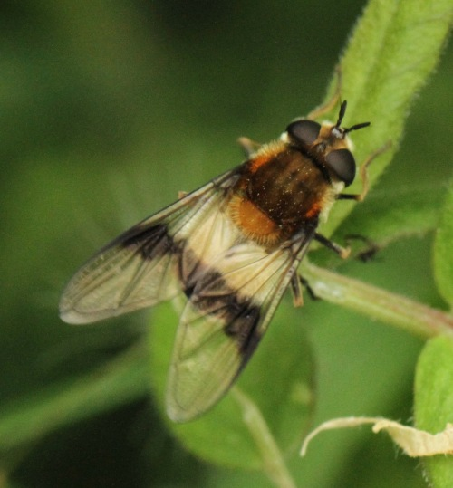 Leucozona Lucoma- White-banded Hoverfly