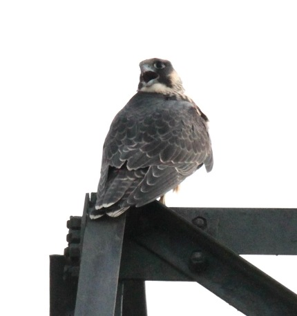 Adult Peregrine calls it's young