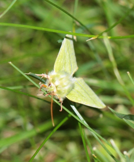 Green Silver-lines Moth