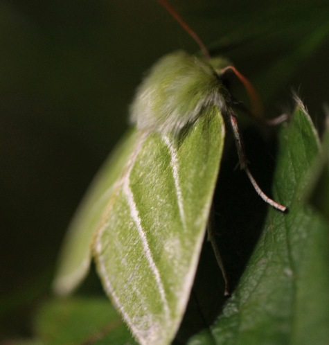 Green Silver Lines moth