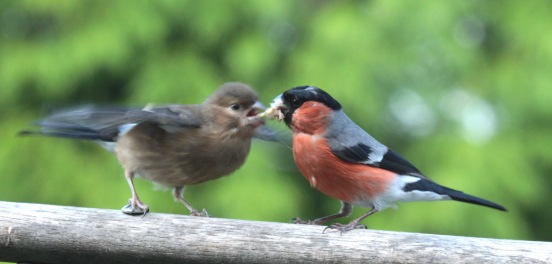 Adult male feeding juvenile Bullfinch