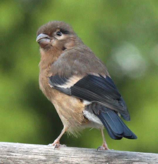 Juvenile Bullfinch- lacks black cap and male lacks pink breast of adult.