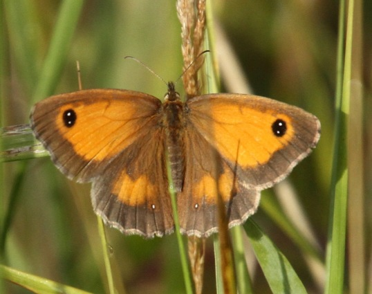 Female Gatekeeper- still two white dots but less brown marking on the forewing than the male.
