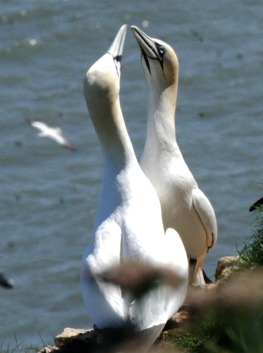 Gannets mate for life