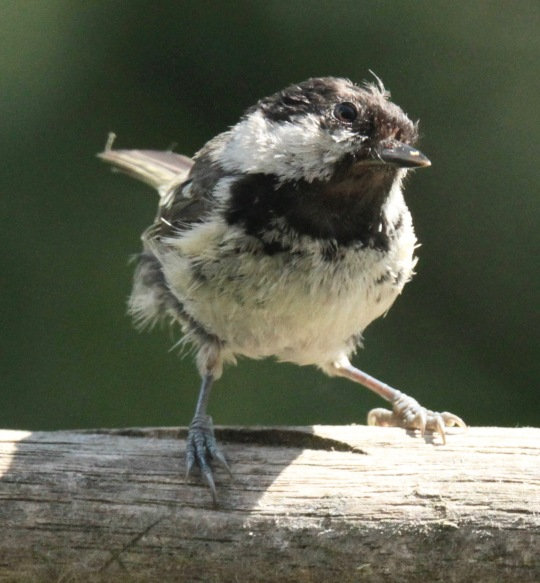 Adult Coal Tit