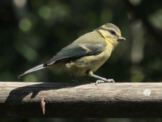Young, healthy Blue Tit