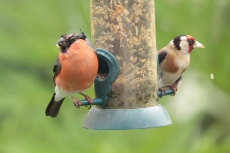 Male Bullfinch feeding alongside Goldfinch