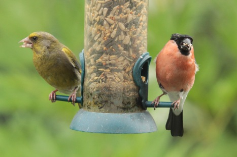 Greenwich and Bullfinch males
