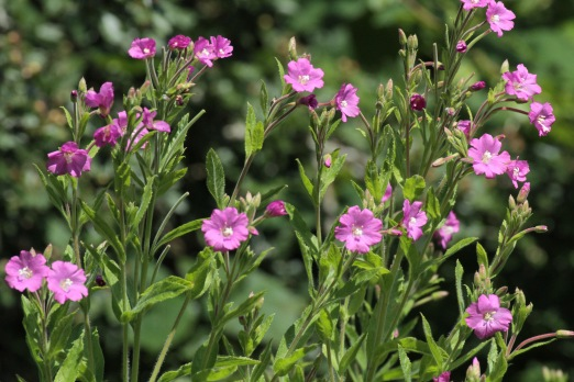 Great Hairy Willow Herb