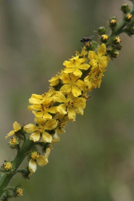 Yellow Agrimony