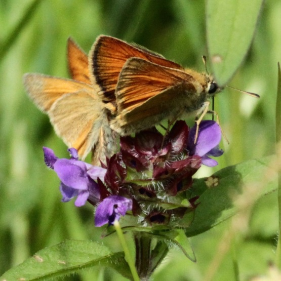 Small Skippers feeding on Self Heal