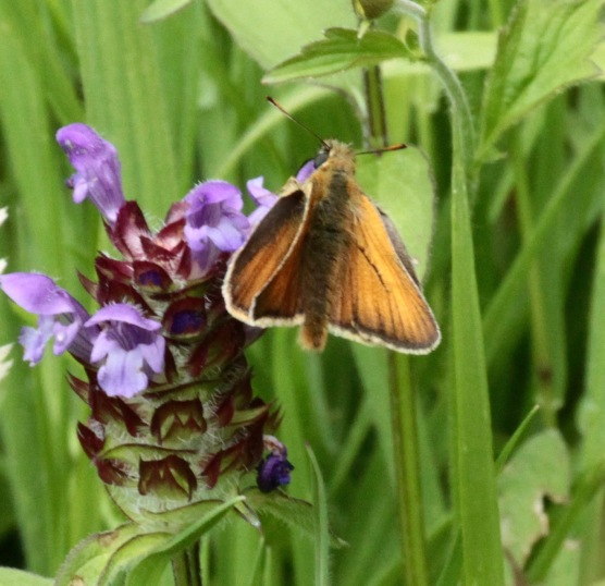 Male Small Skipper, showing its dark scent brand (line on forewing)