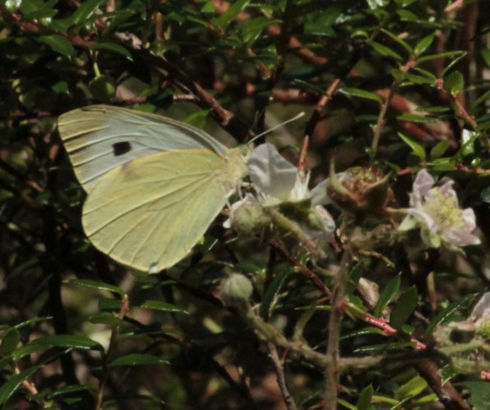 Large White Butterfly- female
