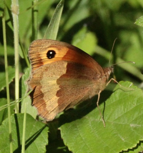 Gatekeeper feeding on bramble