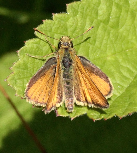 Female Small Skipper