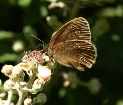 Ringlet feeding on Bramble
