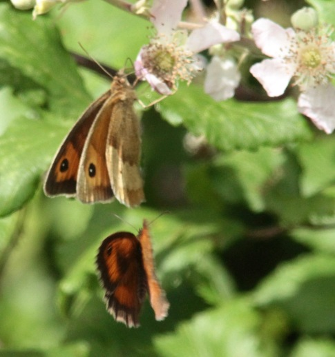 Meadow Brown approached by Gatekeeper