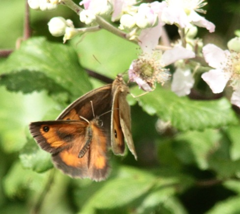 Gatekeeper attempting to mate with Meadow Brown