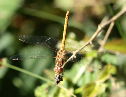 Common Darter eyes