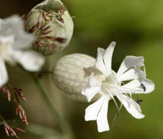Bladder Campion- five, deeply lobed petals
