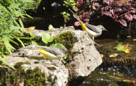 Pair of Grey Wagtails