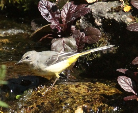 Grey Wagtail on a pint in Derbyshire