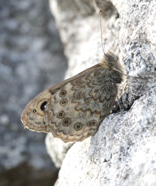 Wall Butterfly, well camouflaged on a limestone wall near Monyash