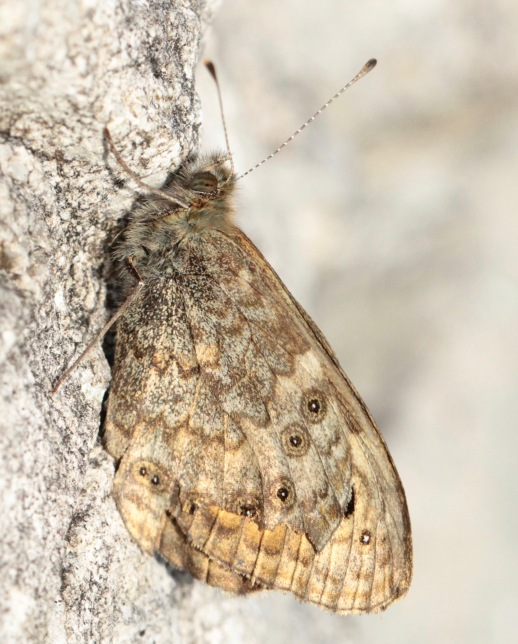 Underwing of a resting Wall Butterfly