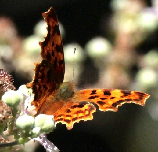 Comma adult feeding on Bramble