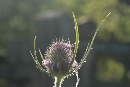 All parts of the architectural Teasel are spiky