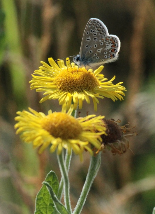 Common Fleabane with Common Blue Butterfly