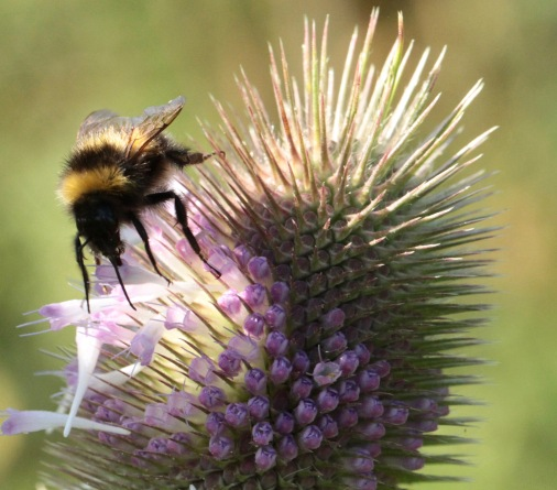 As the Bee feeds the older flowers are either pulled out deliberately or dislodged once they are empty of food