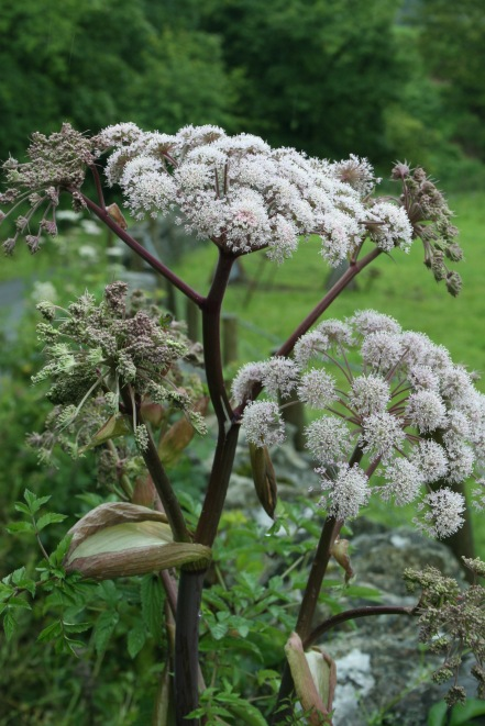Angelica- softer, pinkish heads of flowers.