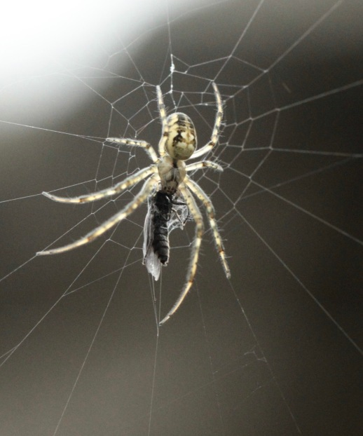 Garden or Cross Spider with new caught prey