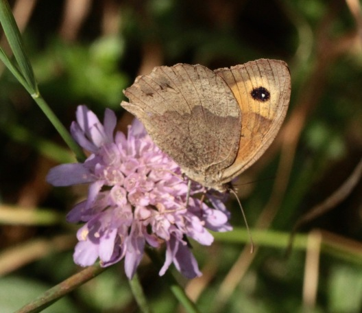 Meadow Brown on Field Scabious