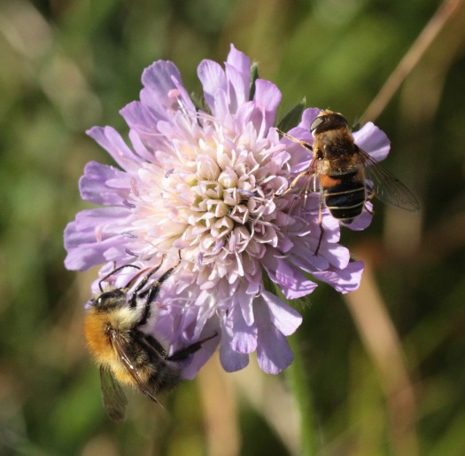 Bees and Hoverflies feed on Field Scabious